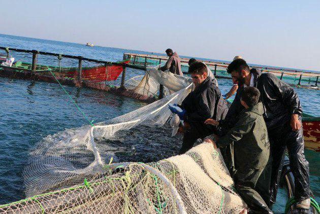 برداشت 300 تن ماهی در قفس برای نخستین بار در مجتمع آبزی پروری شهیدپرویزی جویبار