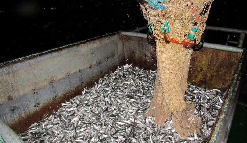 افزایش ۳۰ درصدی صید ماهی کیلکا در مازندران