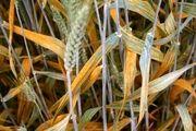 برداشت جو دیم از اراضی کشاورزی شهرستان بندرلنگه آغاز شد