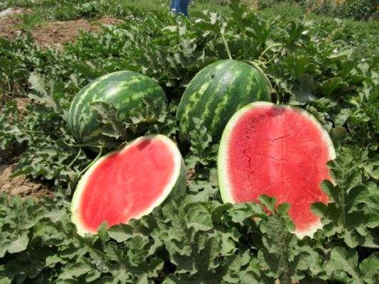 قیمت هندوانه  به بیش از ۲۰۰۰ تومان رسید