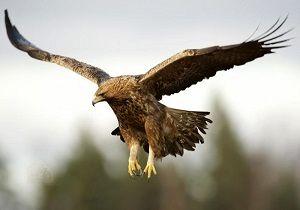 رهاسازی یک عقاب صحرایی در لنجان