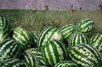 برداشت هندوانه در جاسک آغاز شد