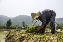 امنیت غذایی و کاهش فقر با افزایش ۲۵ درصد تولید برنج
