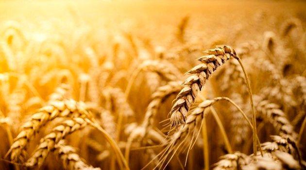 خرید ۵۲ هزار تن گندم از کشاورزان هرمزگانی