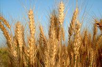 ۳۶۰ هزار تن گندم در اردبیل خریداری شد