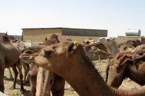 پلاک کوبی 2 هزار شتر در هرمزگان