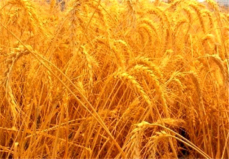 گندم کاران حواله بذر و کود دریافت کنند
