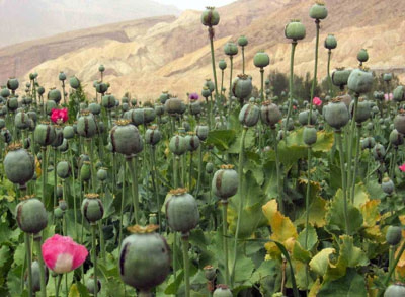 معدومسازی 5.5 میلیون گرز خشخاش در کرمانشاه