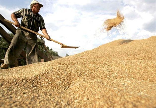 بیش از ۳ میلیون تن گندم از کشاورزان خریداری شده است