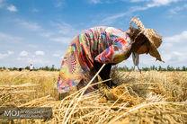 سیاست جدید دولت برای خرید تضمینی گندم / افزایش 200 هزار تنی در تولید شکر
