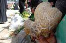 مصرف قارچ سمی در کرمانشاه همچنان مرگآفرین است