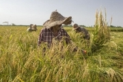 10 درصد از محصول  اراضی شالیزاری ماسال برداشت شده است