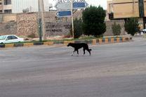 احداث مکانی برای نگهداری سگ های ولگرد توسط شهرداری رشت