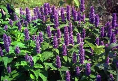 برداشت بیش از ۱۷هزار تن گیاه دارویی در کاشان