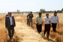 یولاف زراعی در ۷ هکتار به تولید انبوه رسید