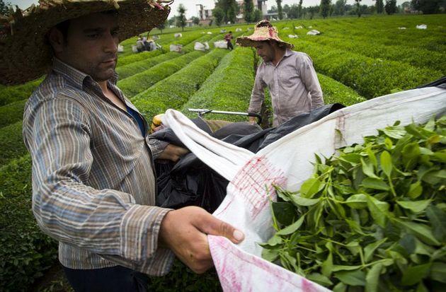 چایکاران درخواست گرانی دادند/30 هزار تن تولید فعلی چای کشور