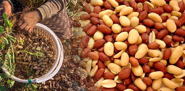 کشت بادام زمینی با افزایش صنایع تبدیلی اولویت است