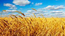امکان تفکیک کیفیت گندم درشرایط خرید تضمینی وجود ندارد