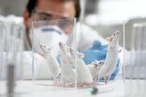 تغییر ژنتیک موش برای تقویت حس بویایی