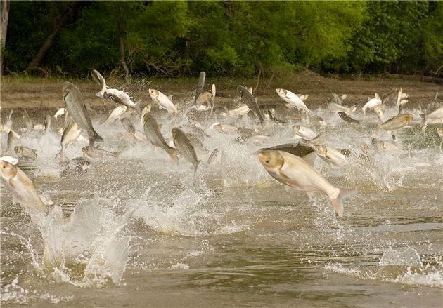 تولید ماهیان خاویاری در مازندران با هدف تامین مولد انجام میشود