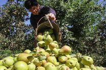 افزایش 55 درصدی برداشت گلابی در استان اصفهان