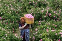 خراسان رضوی دارای رتبه پنجم کشور در میزان سطح زیر کشت گل محمدی است