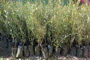 تولید بیش از 3 میلیون اصله نهال صنوبر در استان اردبیل