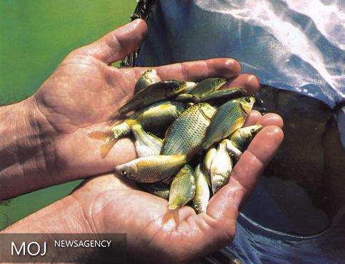 رهاسازی بیش از ۱۰۰ هزار قطعه بچه ماهی کپور در تالاب انزلی