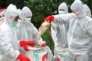 مرغداریهای فعال شیوع بیماری آنفلوآنزای مرغی را جدی بگیرند