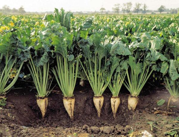 جایزه تحویل چغندرقند کشاورزان به محض تصویب، ابلاغ و اطلاع رسانی خواهد شد
