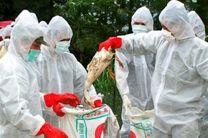 معدوم شدن 500 هزار قطعه مرغ تخم گذار در گلپایگان