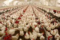 90 درصد نهاده های دامی تبدیل به مرغ برای توزیع در شبکه توزیع نشده است