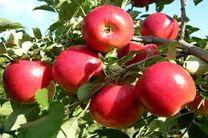 آغاز برداشت سیب از 18500 هکتار باغات سمیرم
