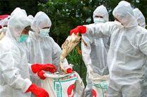 معدوم سازی207 مرغ و پرنده به علت آنفولانزای فوق حاد پرندگان در اصفهان