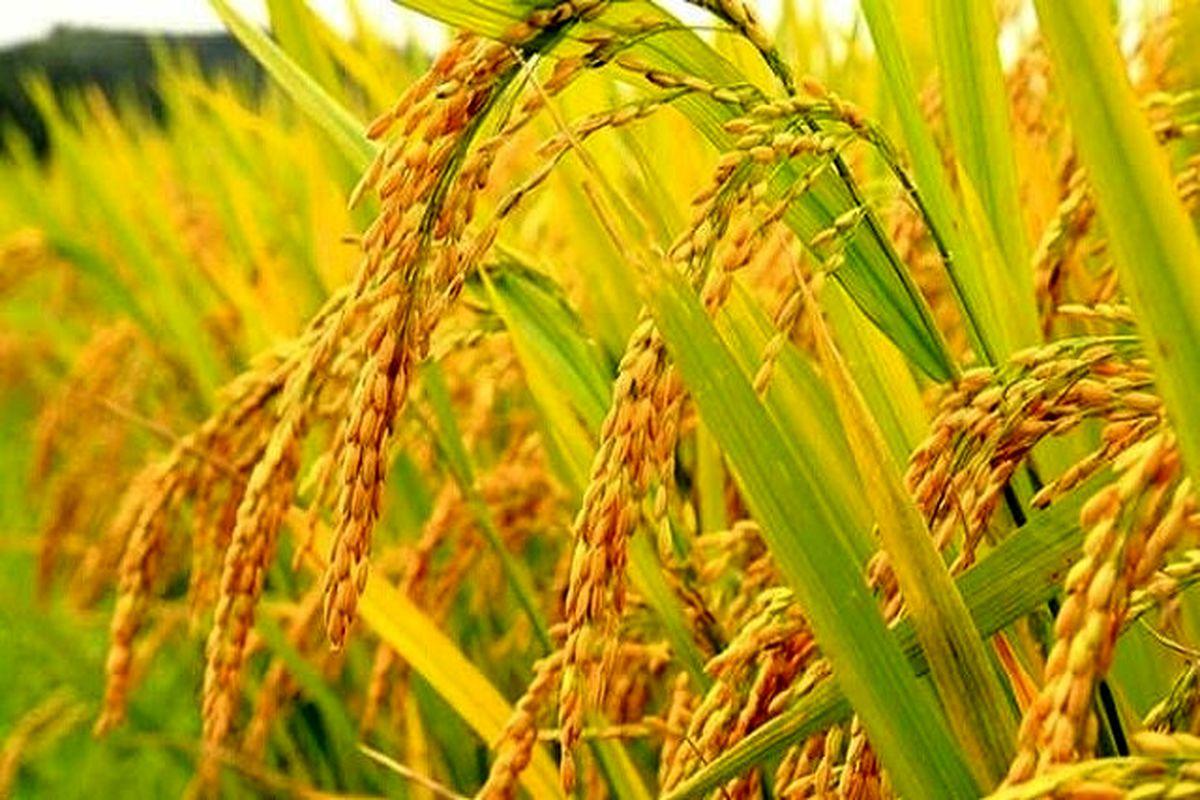کشت برنج ارگانیک به روش خشکه کاری