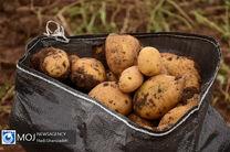 افزایش 3 برابری صادرات سیب زمینی در استان اردبیل