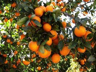 برداشت ۳۷ هزار تن نارنگی از باغهای هرمزگان