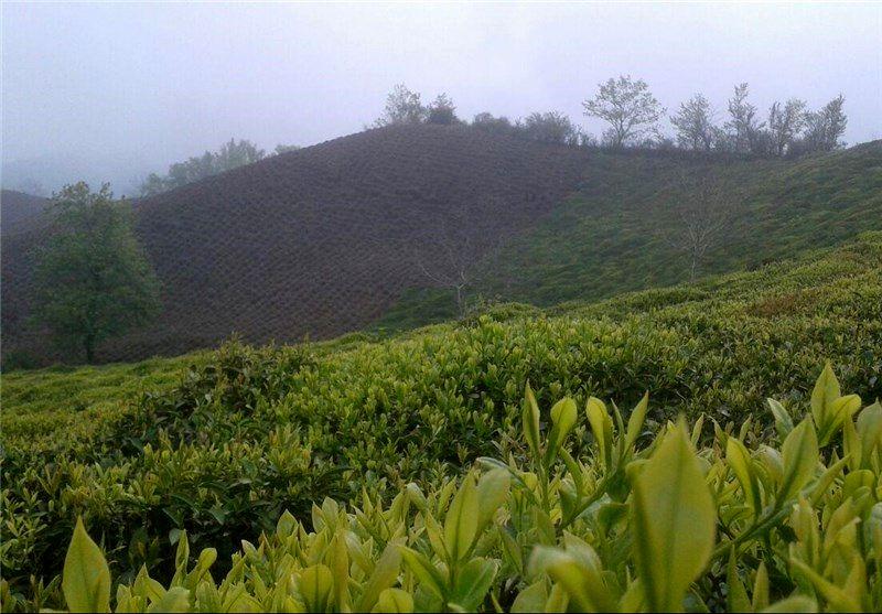 پرداخت تسهیلات بهزراعی چای به پایان میرسد
