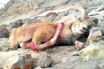 دستگیری متخلف شکار در منطقه شکار ممنوع خور و بیابانک