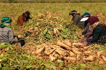 قیمت  هرکیلوگرم شکر 2 هزار و 722 تومان / تولید 8 میلیون و 100 هزارتن چغندر قند در کشور