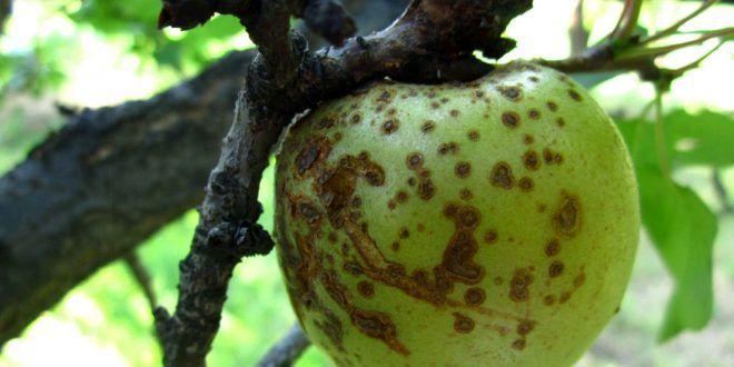 وجود 10 واحد قرنطینه نباتی و کنترل آفات /کنترل بیماری آتشک و مگس میوه در باغات استان اصفهان