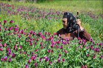 ۱۸۰۰ تن گل گاوزبان در رودسر برداشت شد