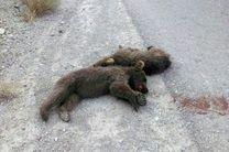 دو توله خرس قهوهای در سمنان کشته شدند