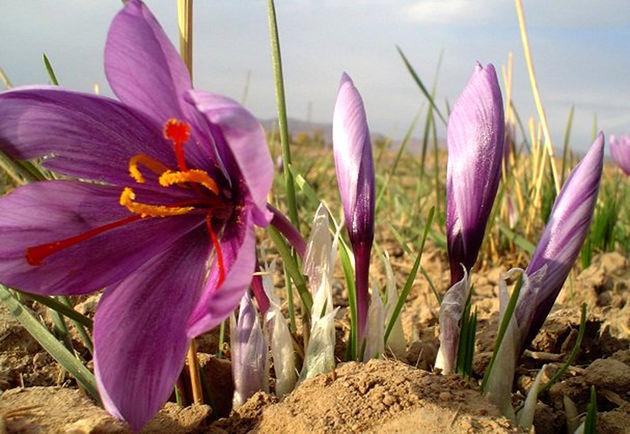 قاچاق پیاز زعفران به قوت خود باقی است