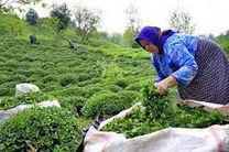 اعلام حمایت کامل دولت از صنعت چای