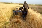 پیش بینی برداشت 10 هزار تن جو از مزارع شهرستان برخوار
