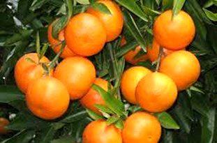 برداشت 70 درصد از باغ های نارنگی میاندورود