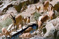 سرشماری حیات وحش شاخص قرق اختصاصی دربید و علی آباد چهل گزی انجام شد