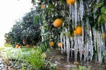 خسارت 70 میلیارد ریالی سرمازدگی به باغهای باغداران بویراحمد / بیرغبتی باغداران به بیمه محصولات کشاورزی