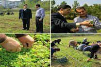 آغاز نخستین مرحله برداشت گیاهان دارویی کمیاب از یک هکتار زمین کشاورزی دانشگاه آزاد اسلامی واحد رشت